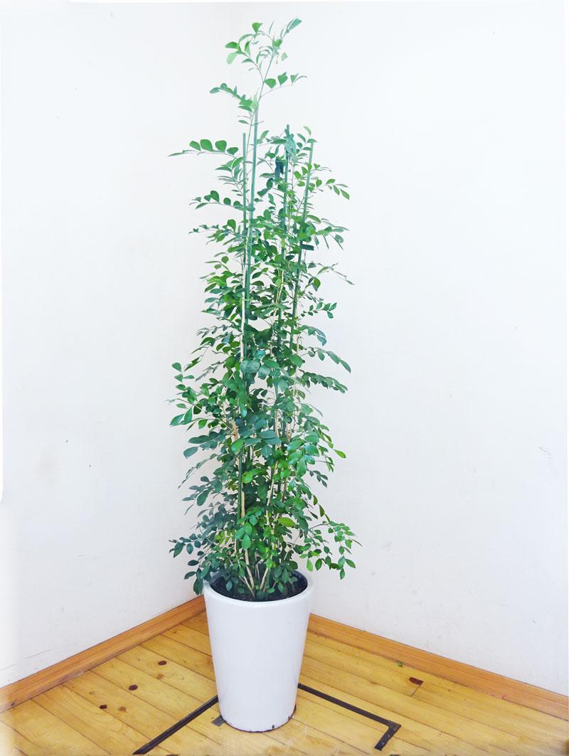 常緑の低木となり、葉は鮮緑色の羽状複葉で茎にとげはありません。日本でも奄美大島以南に分布し、生垣に利用されます。【写真のような商品をお届けします】 人気の陶器鉢仕立てのシルクジャスミン/170cm前後(10号)