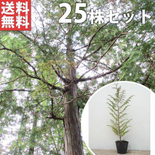 ■送料無料■【25本セット】 ヒノキ 樹高0.4m前後 10.5cmポット ひのき 苗木 植木 苗 庭木 生け垣 シンボルツリー 常緑樹
