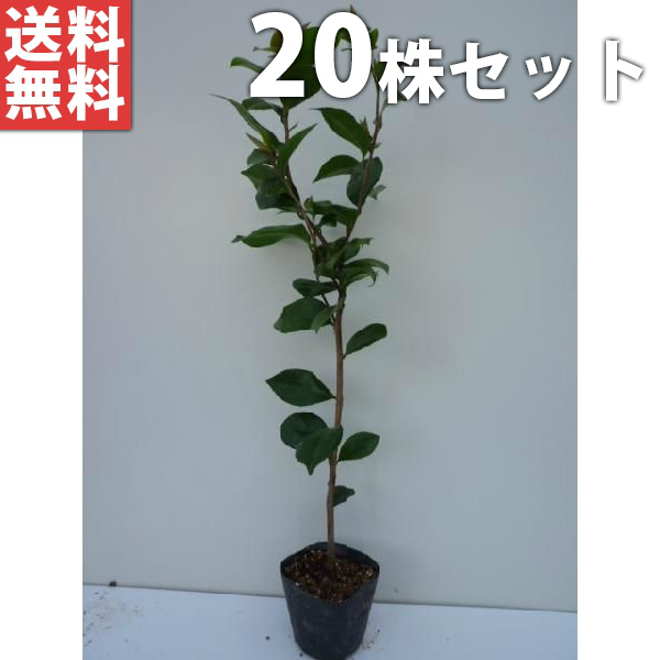 U Kinoka Garden Plant Special Feature Blindfold Hedge To Have