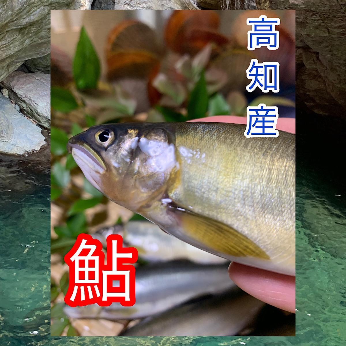 高知県産鮎【20尾】1尾約18センチ