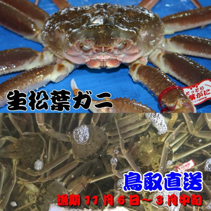 日本海沖で水揚げされた品質の良い松葉ガニを活きたまま発送します。(ご到着まで日数がかかる場合は活きていない場合もあります) 活松葉ガニ(生)、鳥取県産、日本海産、タグ付き松葉ガニ超特大サイズ3L、1枚約1.2kg(ズワイガニ)!!漁期11月6日~3月中旬