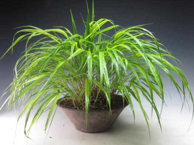 山野草 斑入り風知草の鉢植え盆栽