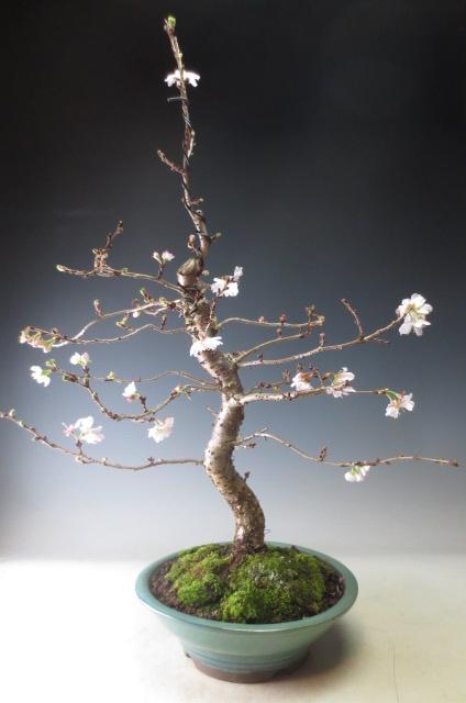 桜盆栽 花芽付き!十月桜の鉢植え(大)2020春開花予定