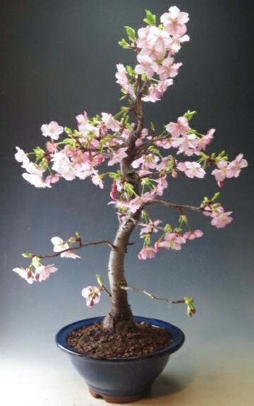 桜盆栽 珍しい 河津桜の鉢植え盆栽 今年の開花は終わっております。