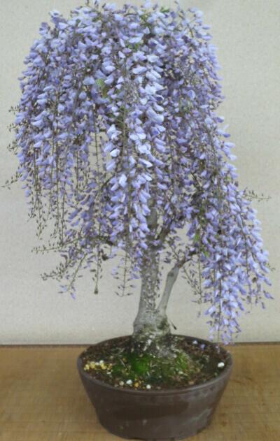 一才藤(フジ)(紫花)の鉢植え盆栽(特大)【送料無料】開花の盛りは終えております。