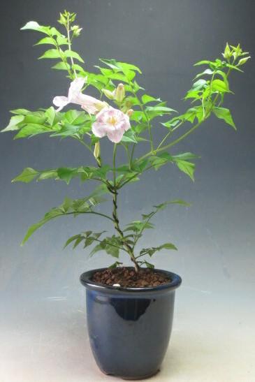 ノウゼンカズラ盆栽仕立て(薄ピンク花)の鉢植え【北海道・沖縄・離島発送不可】