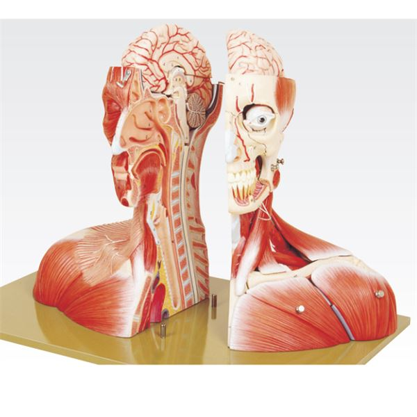 頭部半截モデル/人体解剖模型 【19分解】 頭蓋冠取りはずし可 脳:8個分解可 J-116-0【代引不可】 送料込!