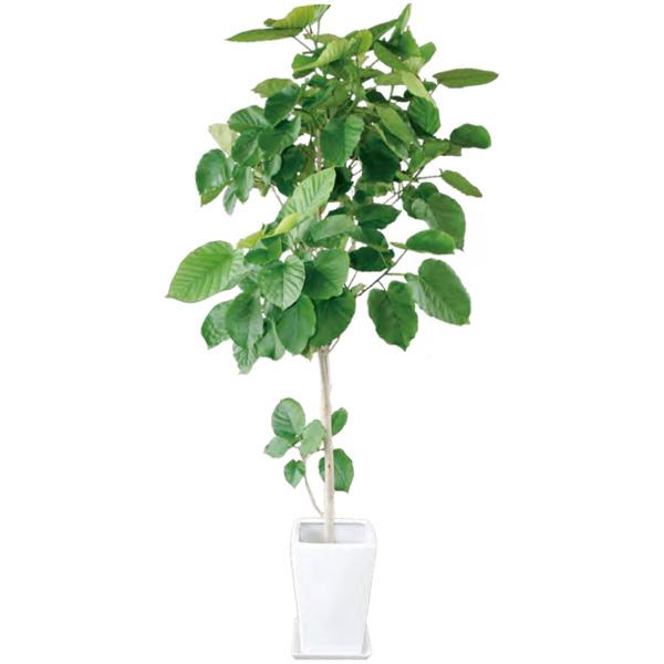 観葉植物 フィカス ウンベラータ 8号 120cm ギフト 開店 新築 引っ越し 祝い インテリア グリーン 春 新生活