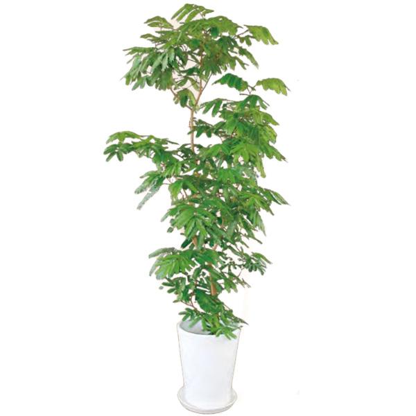 観葉植物 エバーフレッシュ 7号 100cm ギフト 開店 新築 引っ越し 祝い インテリア グリーン 春 新生活