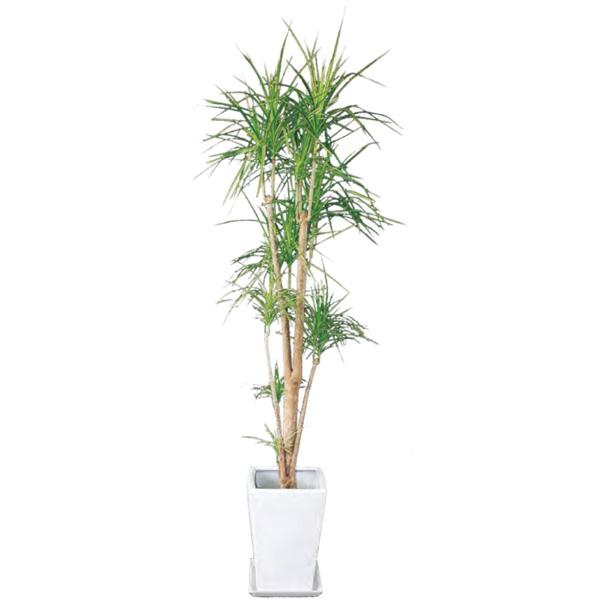 観葉植物 コンシンネ 8号 100cm ギフト 開店 新築 引っ越し 祝い インテリア グリーン 春 新生活