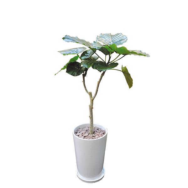 ウンベラータ 120cm 陶器L 大型 InterPlantsnet インタープランツネット インテリアプランツ 開業祝い 新築祝い ギフト 観葉植物 春 新生活