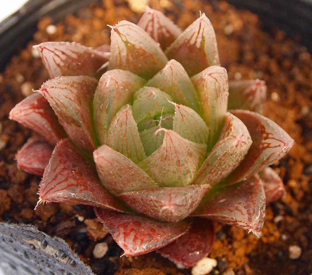 葉はほんのり赤く美しい。葉先は尖っていて透明窓が綺麗。 レイトニー【ジュエルプランツ】ハオルチア属 多肉植物 9cmポット観葉植物 雑貨 おすすめ インテリア 暮らし ハオルシア haworthia サボテン 植物