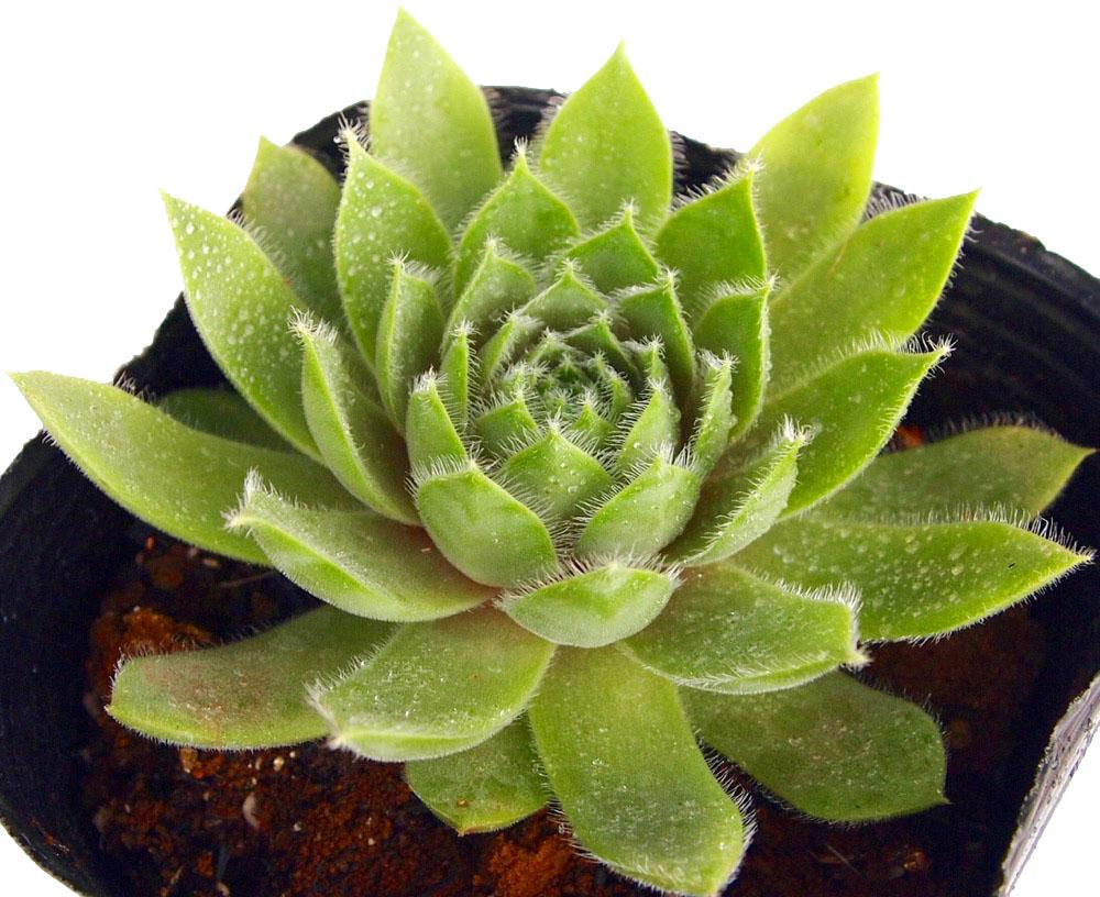 鮮緑色の葉で少し産毛があり、紅葉すると濃紫色になります。 カナダケイト センペルビウム属 多肉植物 9cmポット観葉植物 雑貨 おすすめ インテリア 暮らし#160;地植え 鉢植え 子株 寒さ 紅葉