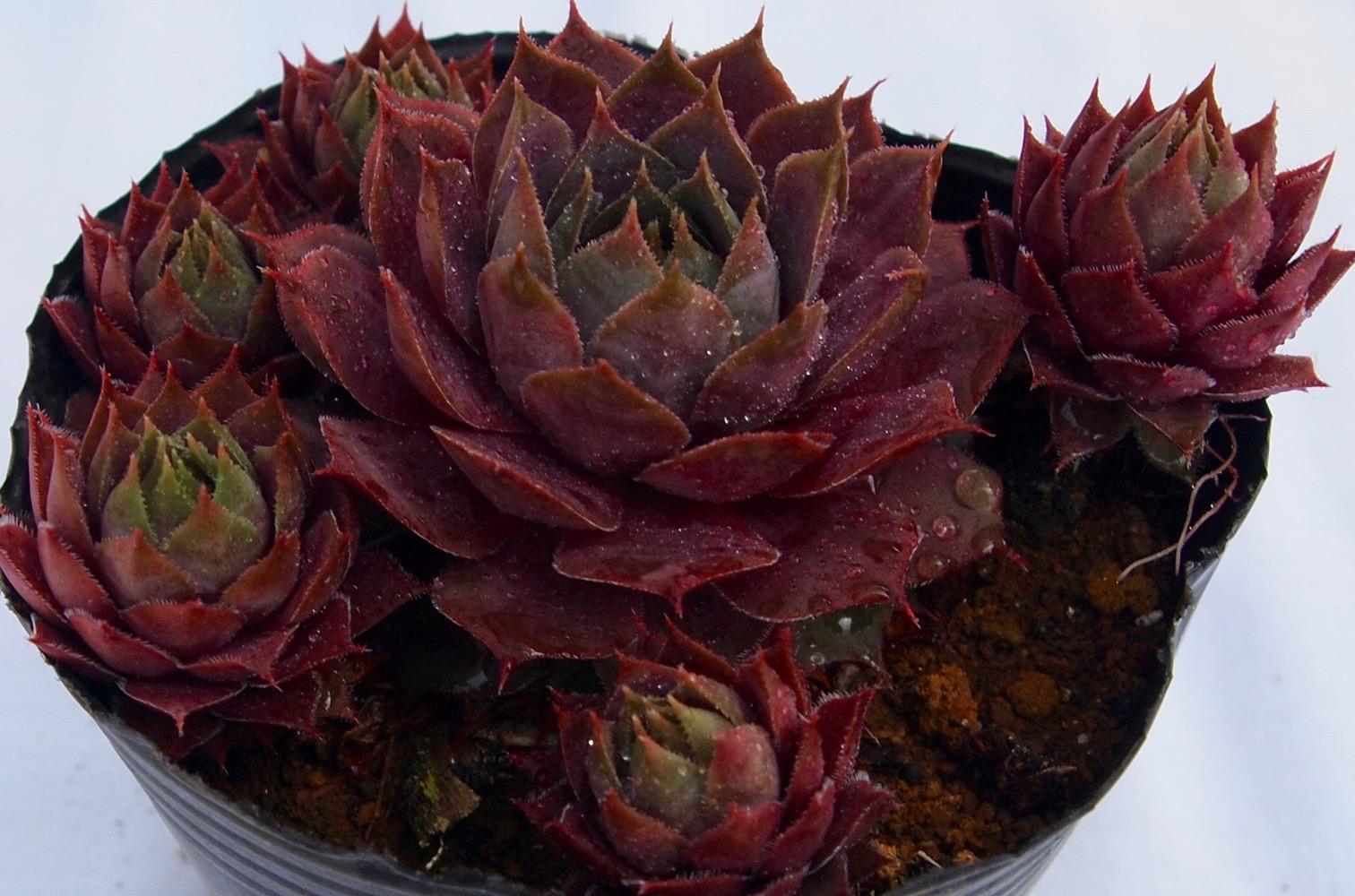 外の葉から薄紫に色付く。 コルンストーン センペルビウム属 多肉植物 9cmポット観葉植物 雑貨 おすすめ インテリア 暮らし#160;地植え 鉢植え 子株 寒さ 紅葉