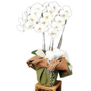【送料無料】お供え・お悔やみ・法事・葬式 ビジネス・お供え用コチョーラン鉢植え(胡蝶蘭3本立・カード付き)花の配達便!【楽ギフ_メッセ】【楽ギフ_メッセ入力】webflora