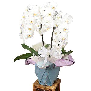 【送料無料】お供え・お悔やみ・法事・葬式  ビジネス・お供え用コチョーラン鉢植え(胡蝶蘭3~5本立・カード付き)花の配達便!・お葬式・法事に!【楽ギフ_メッセ】webflora