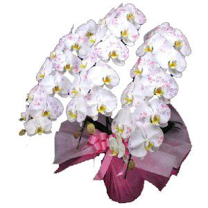 【送料無料】化粧蘭(胡蝶蘭3本立・カード付き)ビジネス・開店祝・移転祝・開業祝・周年記念・新築祝・就任祝・昇進祝・お中元・お歳暮・各種お祝用 花の配達便!【_メッセ】webflora