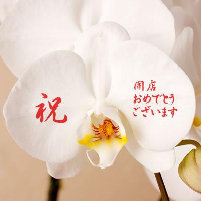 【送料無料】名入れコチョーラン(胡蝶蘭3本立)【楽ギフ_メッセ】【楽ギフ_メッセ入力】webflora