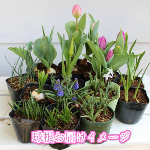 栽種5球芽高湯球根丹山頂1暖水瓶Allium sphaerocephalum[球根植物]