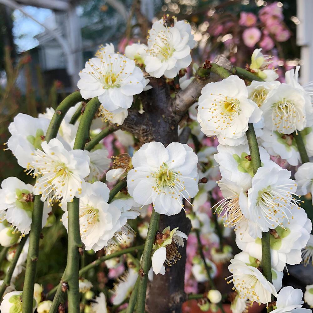 今年の花は終了 花は来年になります しだれ梅 花木 梅の木 白花 1鉢 6号 mume サクラ属 国産品 バラ科 お届け中 Prunus 人気ブランド多数対象 ウメ アンズ属 Armeniaca