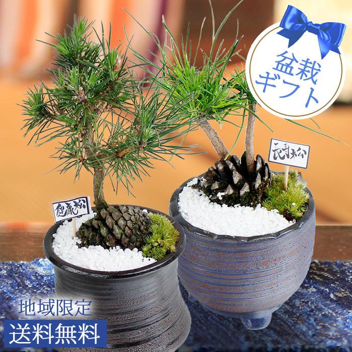 Man Pinus