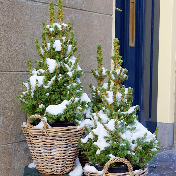 クリスマスツリー モミの木 ドイツトウヒ 8号鉢 【同梱不可】【ドイツトウヒツリー】プラ鉢でお届け