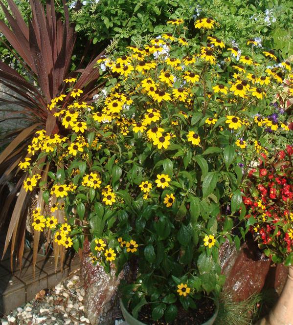 rudobekiatakao 5鉢安排1鉢3號Rudbeckia triloba'Takao'