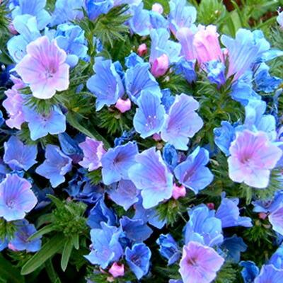 当店人気商品 幻想的で一株からピンクとブルーの濃淡の花が咲くエキウム 1年草だけど 花のボリュームはお値段以上 っと毎年リピーター様続出品種 花苗 秋 エキウム ブルーベッダー 1鉢 3号 苗 一年草 お届け10月中旬~秋苗先行予約 Echium 青花 耐寒性 Blue vulgare 花壇 草丈低中 寄せ植え イングリッシュガーデン お気に入 鉢植え 2021AKI Bedder ガーデニング 庭植え 花 正規認証品 新規格