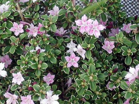Wfgarden Evergreen Shrub Serissa Pink Flowers Serissa Foetida