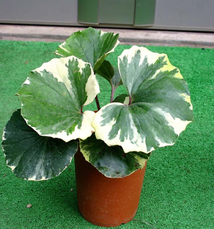 日本植物大日本 ukigumo 錦大 4 鍋