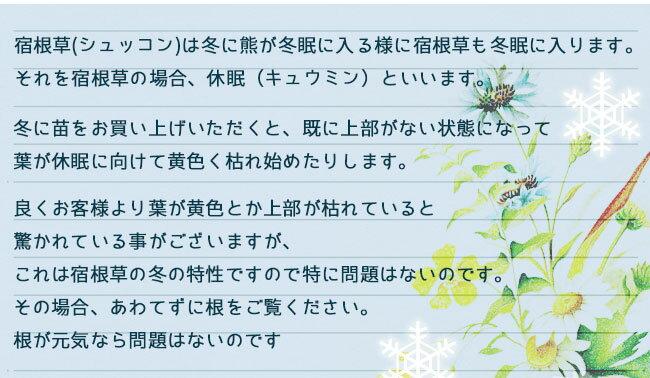 種下puratiaangerata 3號Pratia angulata夏天苗秋天苗花苗多年草英語花園苗盆栽院子園藝花壇運動場覆蓋物白花半耐寒性多年草