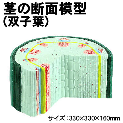 【個人宅配送不可】アーテック 茎の断面模型(双子葉)(008747)