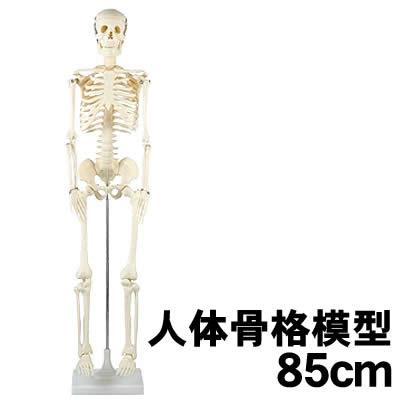 【個人宅配送不可】アーテック 人体骨格模型 85cm(008850)