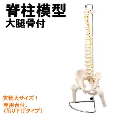 アーテック 脊柱模型 大腿骨付(009710)