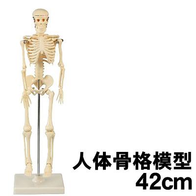 学校教材 直輸入品激安 理科教材 18%OFF 備品 模型 標本 アーテック 人体骨格模型 42cm 個人宅配送不可 009976