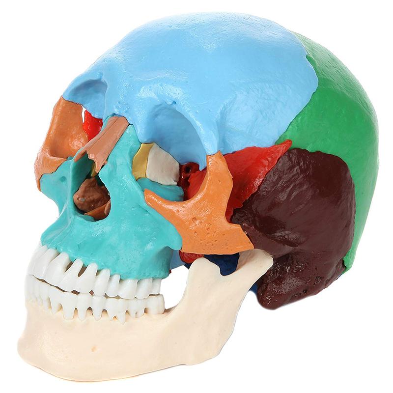 【解剖学を学ぶ】22ピース実物大頭蓋骨モデル