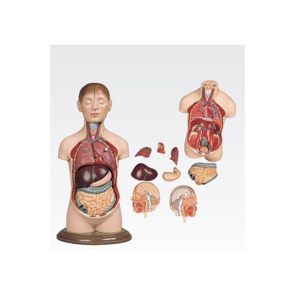 【送料無料】ミニトルソ/人体解剖模型 【9分解】 高さ35cm J-113-2【代引不可】