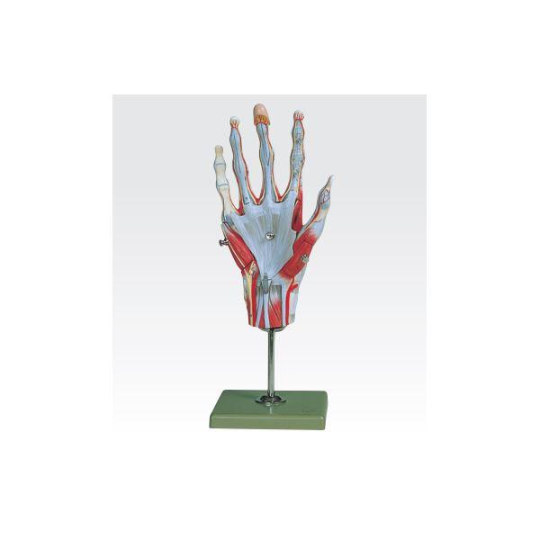 【送料無料】手の筋肉解剖模型/人体解剖模型 【5分解】 実物大 合成樹脂製 J-114-1【代引不可】