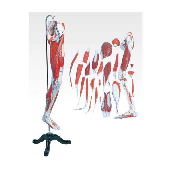 【送料無料】下肢模型/人体解剖模型 【27分解】 鉄台付き J-114-5【代引不可】