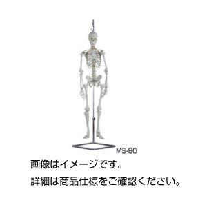 【送料無料】人体骨格模型 MS-80