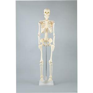 【送料無料】アーテック 人体骨格模型 85cm