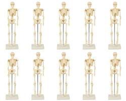 人体骨格模型 42 10個 03123655-001【03123655-001】[4521718941981]