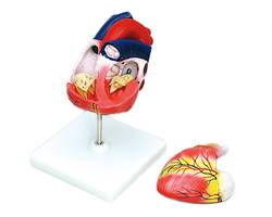 【送料無料】8739 心臓模型(2分割) 【アーテック】 03115936-001