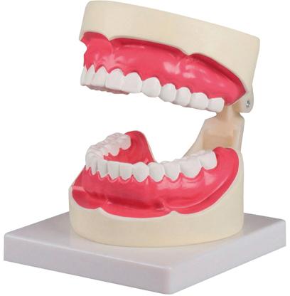 【送料無料】【エルラージーマー社】歯磨き・口腔ケア指導模型  規格:1.5倍大 サイズ:W100×D140×H90mm(D217)
