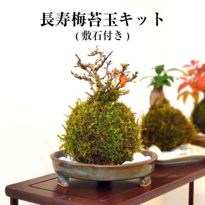 夏休み 盆栽 ハイゴケ 観葉植物 おしゃれ 緑のある暮らし 【 10%off 】 苔 苔玉 キット 敬老の日 【 長寿梅 苔玉キット 】