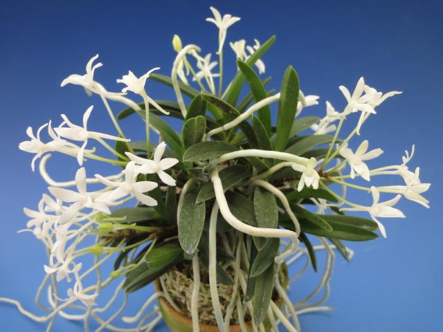 無地豆葉の銘品 入門品種として人気が高い 新品 送料無料 花は天咲きで可憐な白花 富貴蘭 1年保証 玉金剛 たまこんごう 蘭 フウラン 古典植物 3条 花