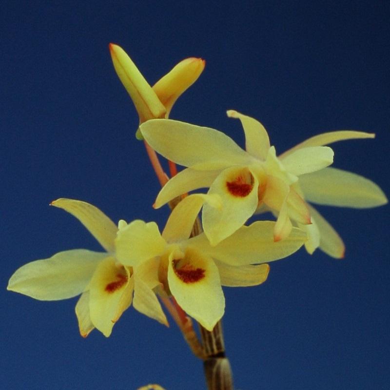 黄花の紅一点花 花つきよく強健種 石斛花物 セッコク 通販 激安 やしろ 日本未発売 5~6条 八代