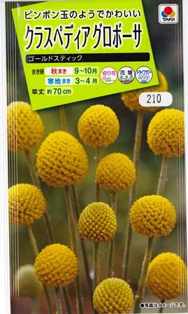ボール状の黄色い花房はドライフラワーになります クラスペディア グロボーサ ゴールドスティック 予約販売品 秋まき 人気 おすすめ 耐寒性一年草 0.1ml タキイ種苗