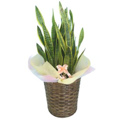 観葉植物 サンセベリア トラノオ 10号鉢 ブラウンバスケット 大鉢 受皿付