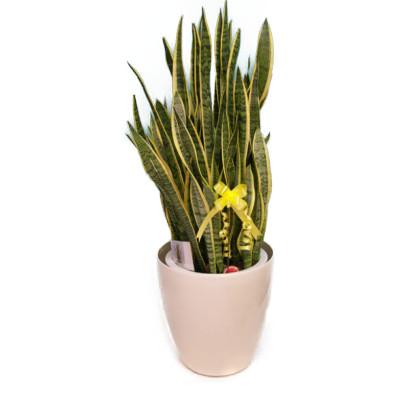 観葉植物 マイナスイオン サンセベリア(トラノオ) 10号鉢(尺鉢) ラスターポット